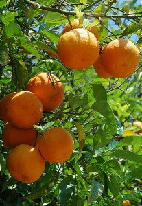 Oranges ripe on tree