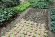 Garden bed succession planting