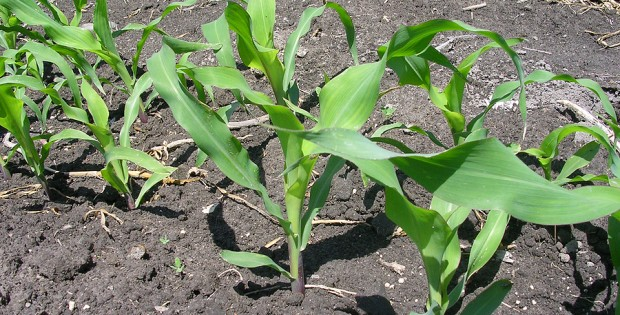 Corn dry farmed