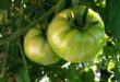 tomatoes-green-2