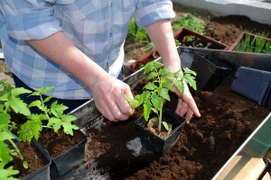 Potting up tomato plant