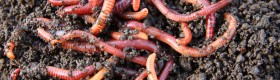 Earthworms can eat their weight in organic matter and soil each day to create nutrient rich castings.
