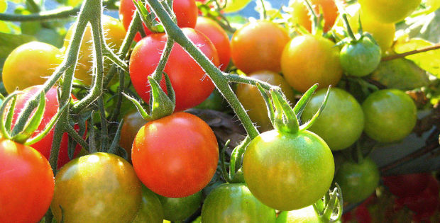 Tomato ripening on vine