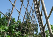 A-frame support--two trellises form the A-frame for beans.