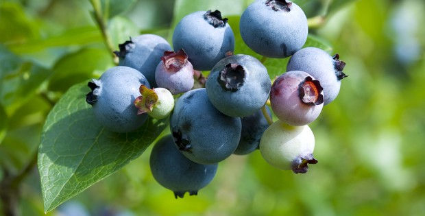 Blueberries are one of Nature's Superfoods