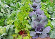 Cabbage and beets--cool-season crops for fall harvest