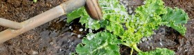 Foliar feeding: crops can take in nutrients directly through their leaves.