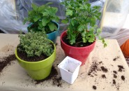 Thyme, mint, and parsley in 8-inch pots for winter indoors