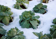 Cabbage can withstand snow